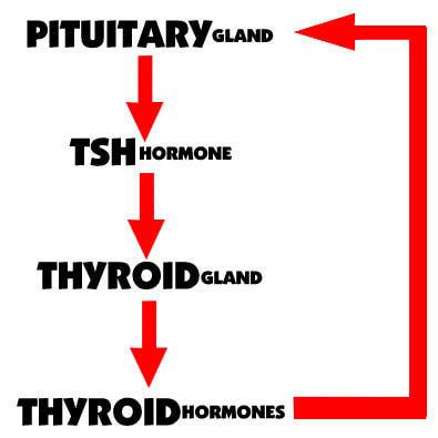 understanding thyroid levels